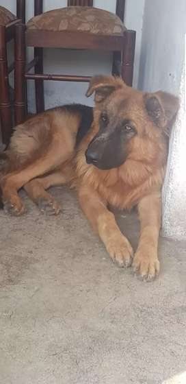 Long coat GSD Male 5 months