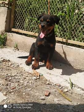 Rottweiler puppy for sale 2 month