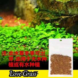 tanaman karpet love grass aquascape