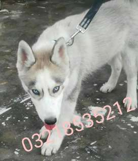 siberian husky puppy male
