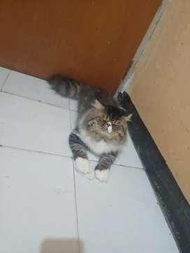 Kucing Persia Peak Nose Super Lebat