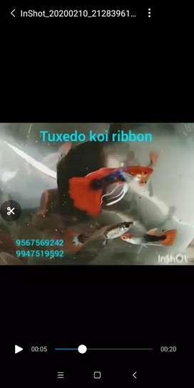 Tuxedo koi ribbon