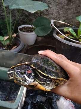 Kura kura Brazil indukan