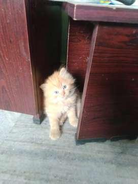 Cats pure perisan kittens