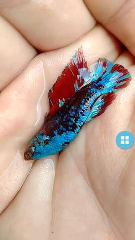 Ikan cupang avatar top