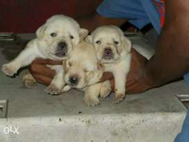 Cute Labrador Male/Female Puppies fawn and black available for sale