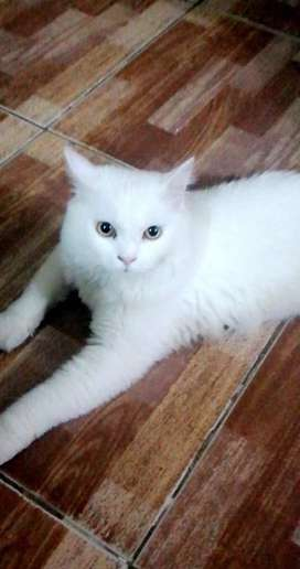 Persian male kitten double coat