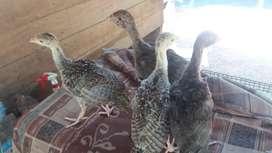 Ayam kalkun berbagai usia