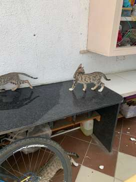 Three kittens to be given away