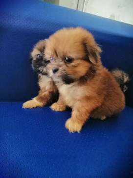 Puppy Shitzu jntn