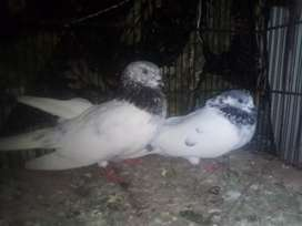 Attractive pair of Pigeons for sale in Rawalpindi