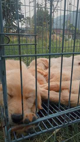 Golden puppies Stb vaksin