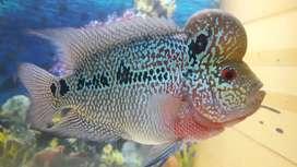 Ikan louhan kamfa jantan