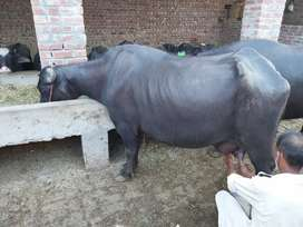 Buffaloes for sale