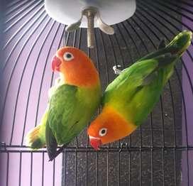 Sepasang induk produktif Lovebird Biola Green