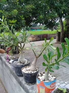 bonsai kamboja bunga single