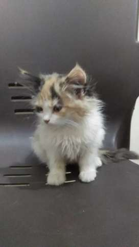 Persain 4 kitten aval 3 white 1 calico for sale