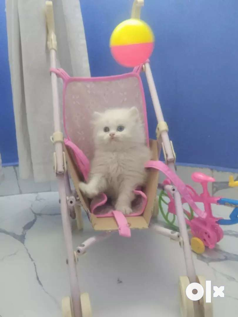 Persian Kitten 0