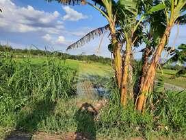 Sawah Pertanian Murah di Gantiwarno Klaten