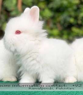 Lionhead Dwarf Rabbit Male Bunny! White Colour!
