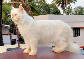 Persian cats ( adult female and kittens)
