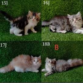 Kucing persia anggora himalaya kitten banyakbpilihan