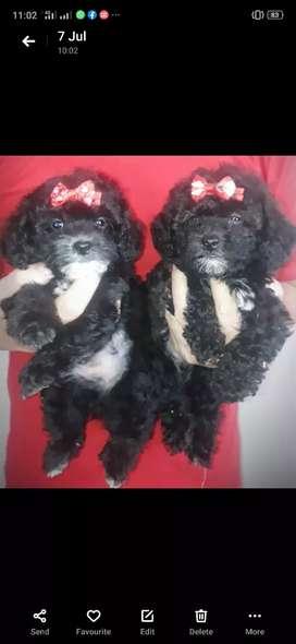 Tea Cup Toy Poodle Istimewa, Warna Silver (Langka), Size Asli Kecil