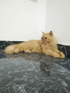 Persian adult male cat