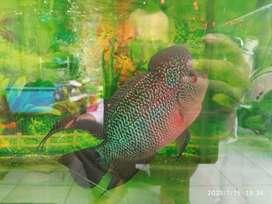 Louhan srd fulset sama aquarium nya