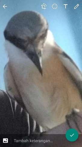 Burung pentet lokal