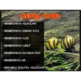 Keong tanduk zebra turbo aquarium aquascape