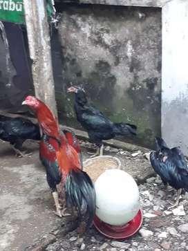 Ayam bangkok kualitas produk di borong