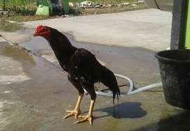 Ayam Jago Lancuran Buat Ternak . . .