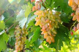 White Hussain (longest and Sweetest) Grapes Plant