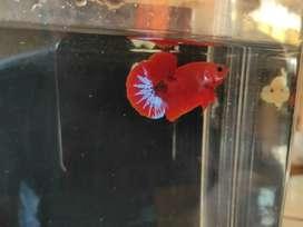 Ikan Cupang Hellboy Jantan (122)
