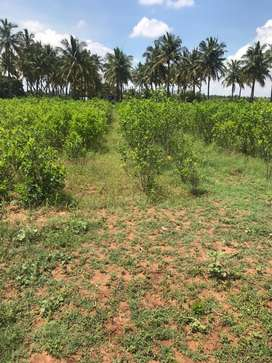 Coconut farm with agricultural land 11 lakh per acer(944/260/59/63)
