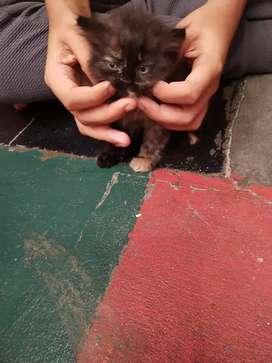 Persians cat