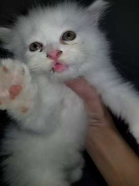 Persian cats available