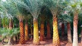 Pohon palam kenari