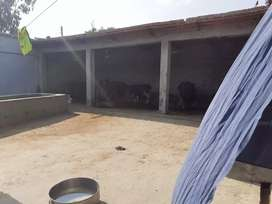 Running business of milk with 7buffalo 4cows with 14baby for sale