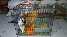 Kucing Persian Black white & Orange sepaket