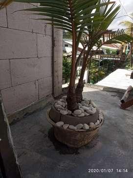 Bonsai kelapa antik asli bercabang 2..
