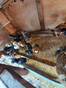 Ayam Kampung Anakan Pitik DOC