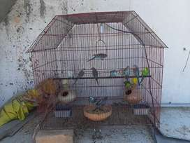 13 budgies alongwith iron cage five thousand final