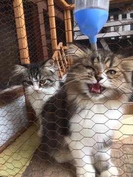 Kucing Persia Bigbone 3.5 bulan