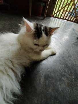 Jual kucing Persia laki-laki