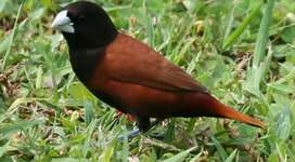 Jenis burung = Black Head Finch