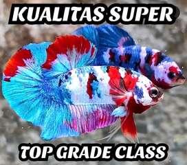 Ikan Cupang Plakat Nemo Multi Galaxy Arwana Red Koi Giant Avatar Lohan