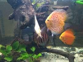 Aquarium + ikan discus