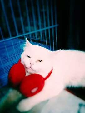 Parishen male cat